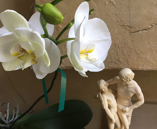 moth orchids, Icarus and Daedalus